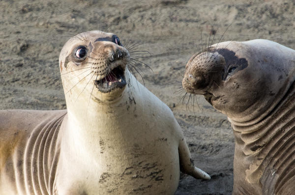 """In a photo titled """"WTF?!"""" a young elephant seal looks shocked at his friend's revelation in San Simeon, Calif."""