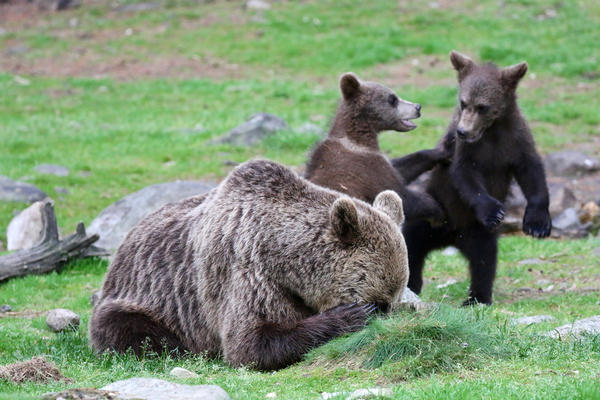 Mummy brown bear just wants some peace and quiet in the Martinselkonen reserve in Finland.
