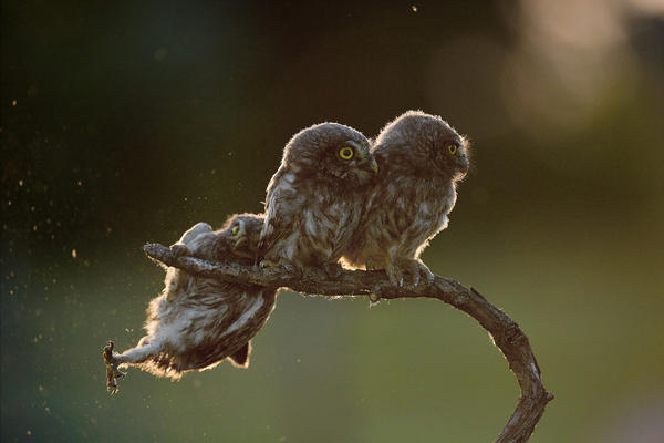 """In a photo titled """"Help!!!"""" an owl struggles to keep his grip as his owl friends look the other way in Opusztaszer, Hungary."""