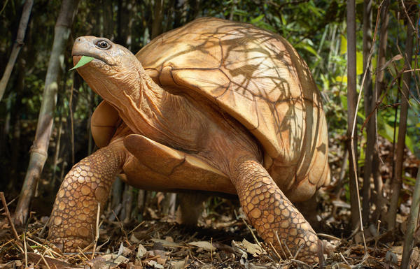 Wildlife poaching and capturing ploughshare tortoises from the wild to sell as exotic pets has brought the species toe-to-toe with extinction. A single tortoise can fetch $4,000 on the black market.