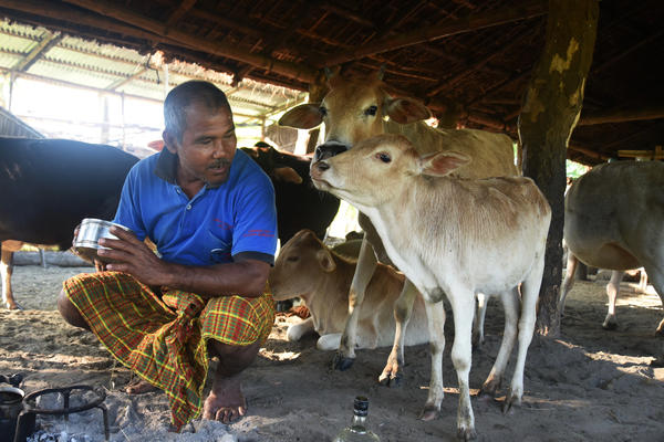 Jadav Payeng kneels before a fire in his cowshed, preparing morning tea before he ventures out on his daily rounds tending to the Molai Forest and collecting edible and medicinal herbs.