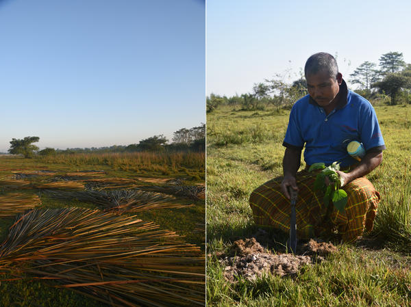 Left: Tree bark is fanned out on the ground to be dried and used as building material for local houses. The traditional homes fashion walls out of sheets made from the strips of bark. Right: Payeng holds stalks of herbs he has just cut and examines elephant dung left in a clearing in his forest. A herd of some 115 wild elephants has been visiting the island since the reforestation.