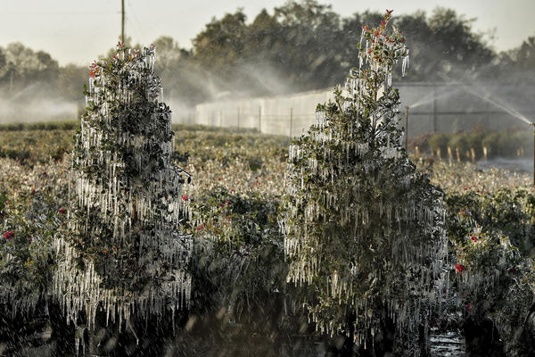 Ornamental plants are covered in a thin layer of ice in Plant City, Fla. Temperatures in central Florida dipped to below freezing. Growers spray water on the plants to help protect them from extreme cold.