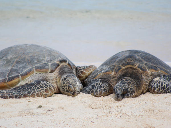 The sex of green sea turtles is determined by the egg's temperature as it's being incubated.