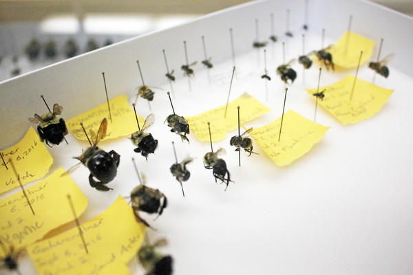 Nigel Raine keeps a collection of wild bees in his laboratory at the University of Guelph, in Canada. Farmed honeybees can compete with wild bees for food, making it harder for wild species to survive.