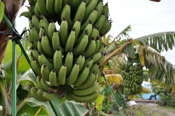 Japanese Mongee bananas debuted this winter, bred to be cold-resistant and pesticide-free. Plus, you can eat the peel.