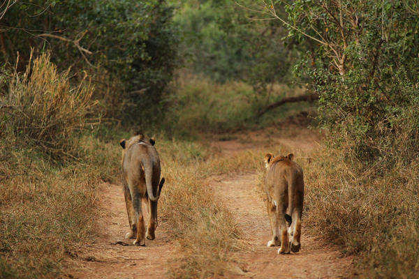 The man was killed near Kruger National Park. Here, a lion and lioness walk along a trail in that park in 2010.
