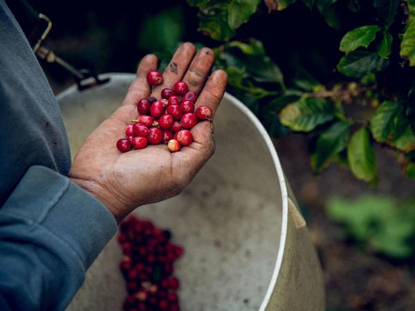Coffee cherries are harvested at Good Land Organics, a farm in Goleta, Calif.