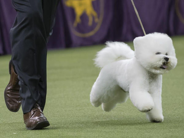 Handler Bill McFadden shows Flynn, a bichon frise, in the best in show competition during the 142nd Westminster Kennel Club Dog Show on Tuesday at Madison Square Garden in New York.