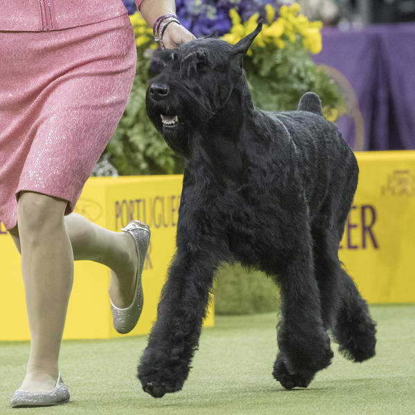 Handler Katie Bernardin leads Ty, a giant schnauzer in the working group competition. Ty won best in working group and was the runner up for best in show.