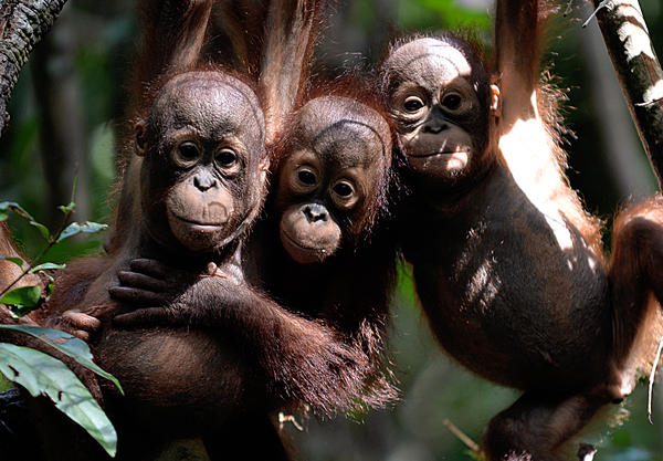 Borneo has lost more than 100,000 orangutans in the last 16 years – about half of the critically endangered species native to the island.