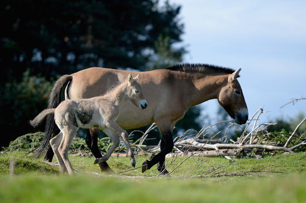 A Przewalski mare with her foal at the Highland Wildlife Park in Kingussie, Scotland, in 2013. It turns out that Przewalski's horses are actually feral descendants of the first horses that humans are known to have domesticated, around 5,500 years ago.