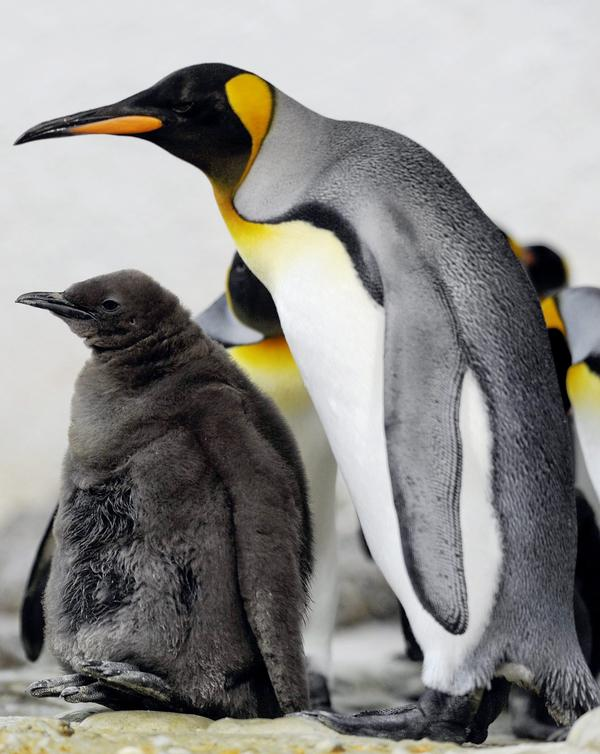 A young king penguin is looked after by an older penguin in the Zurich zoo in 2009.