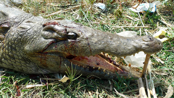 The body of a crocodile that was killed in a cull.