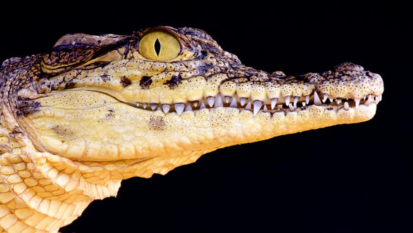 Portrait of a Nile crocodile.
