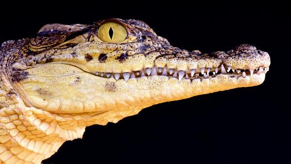 Portrait of a Nile crocodile.