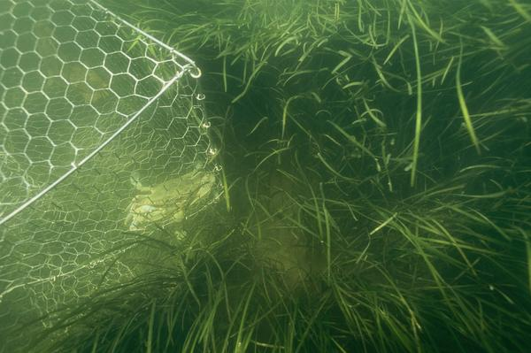 Underwater grasses and a crab pot near Crisfield, Md. In the Chesapeake Bay, underwater seagrass beds are growing, sheltering crabs and fish. The long-awaited recovery depends on efforts by farmers to prevent nutrients from polluting the giant estuary.