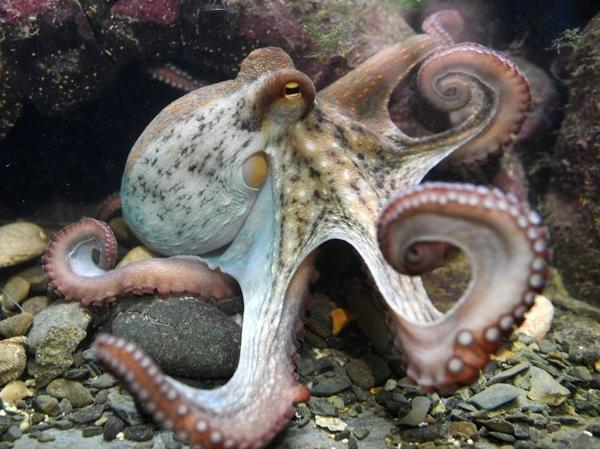 One writer refuses to downplay the attraction and achievements of the octopus.