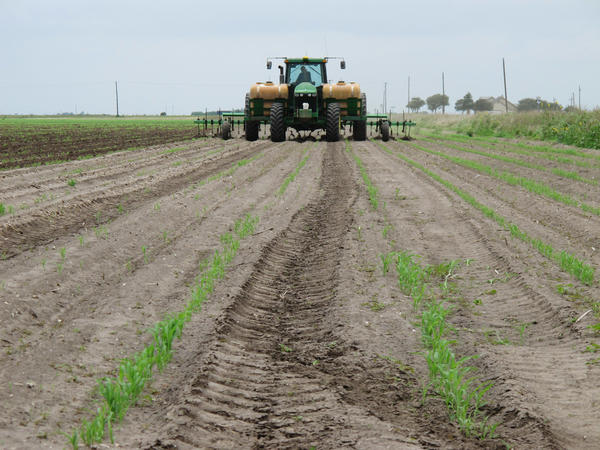 A field of recently-sprouted grain sorghum in Lyford, Texas, shown in a photograph from May 2013. In the latest salvo of a growing trade war, China announced a temporary 179 percent tariff on the U.S. crop.