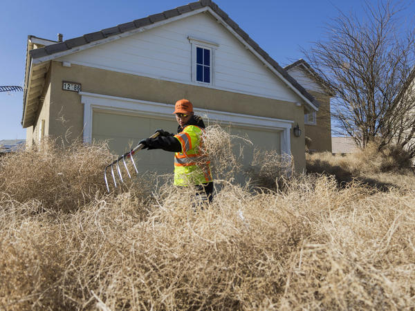 A member of the Victorville public works team clears tumbleweeds from homes in Victorville, Calif., on Monday.