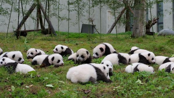 """Zoologist Lucy Cooke says we infantilize pandas because they look cute. """"We don't think of them as bears,"""" she says. """"We think of them as helpless evolutionary mishaps."""" Though captive breeding programs get a lot of press, she wishes that there were more emphasis on maintaining their natural habitat. Above, panda cubs at a conservation center in Wenchuan in China's southwestern Sichuan province."""