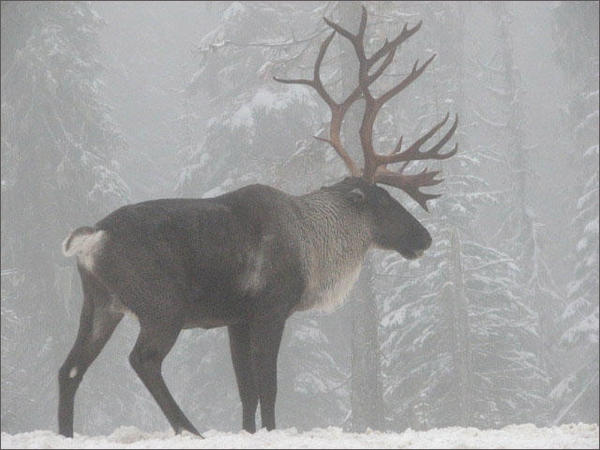 The last caribou herd in the Lower 48 states has dwindled from 11 animals last year to just three earlier this year.