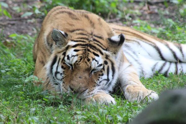 The John Ball Zoo's Amur tiger