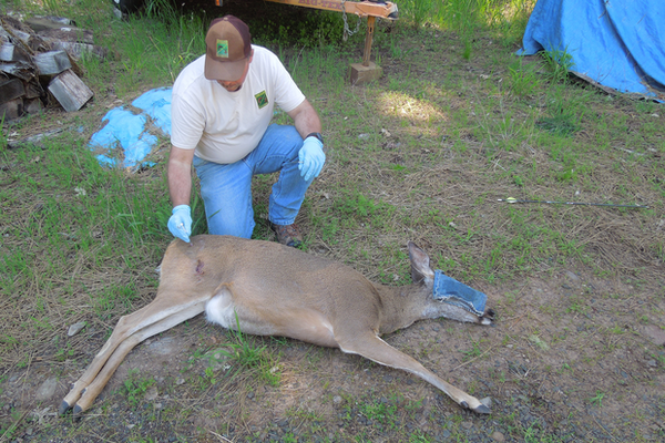 <p>A wildlife officer treats a doe that was shot with an arrow in the Shady Cove area of southwest Oregon. The removed arrow can be seen to the right of the tranquilized animal.</p>