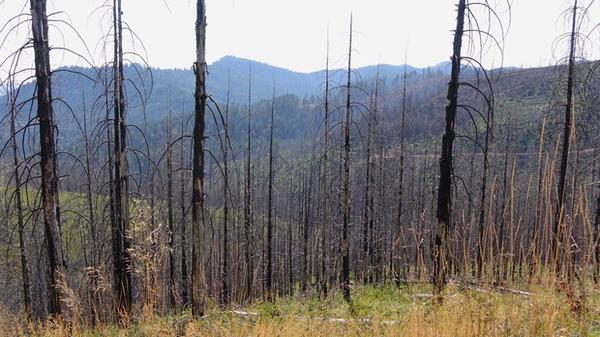 <p>Trees severely burned during the Douglas Complex fire near Glendale, OR.</p>