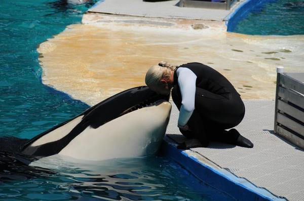 <p>Tokitae, the performing orca known as 'Lolita' at Miami's Seaquarium, with a trainer in 2011.</p>