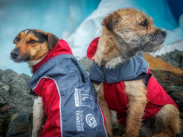 Rat detection dogs Will and Ahu, seen on the job earlier this year on South Georgia Island.
