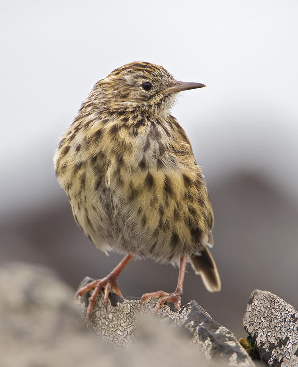 The South Georgia pipit, seen posing for a glamour shot earlier this year, had been among the species hardest hit by the island's invasive rodents.
