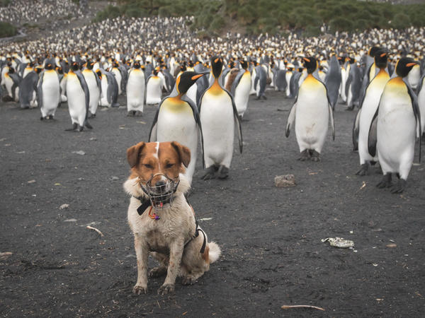 OK, fine, twist our arm: Here's a shot of the third pup, Wai, surrounded by thousands of penguins while on the job at South Georgia's Right Whale Bay in March.