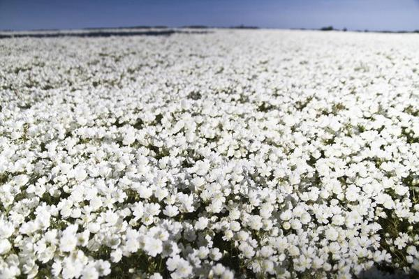 <p>A field of sun-soaked meadowfoam. Scientists at OSU think the plant can be used to make sunscreen.</p>