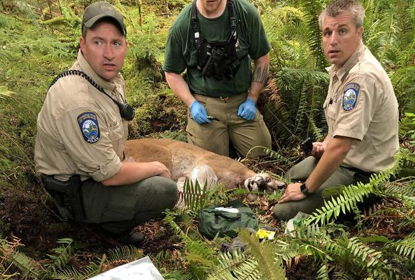 Washington Deptartment of Fish and Wildlife agents tracked and killed the cougar thought responsible for a fatal attack, May 19, 2018.