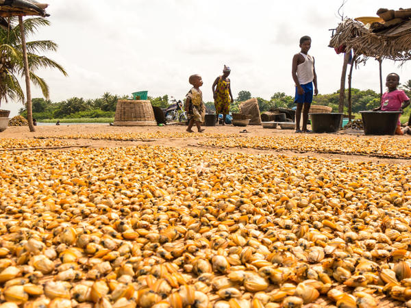 Thousands of clams dry in the sun at a harvesting site in Ghana's Volta River estuary. In recent years, clam fishers have lost access to many sites like this as more land is developed for tourism.