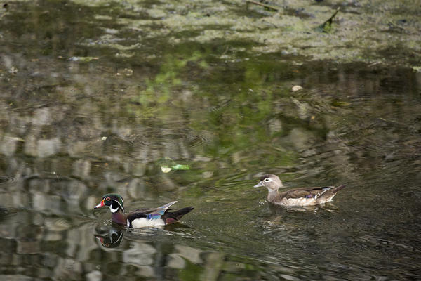A pair of wood ducks swim in Boggy Creek.