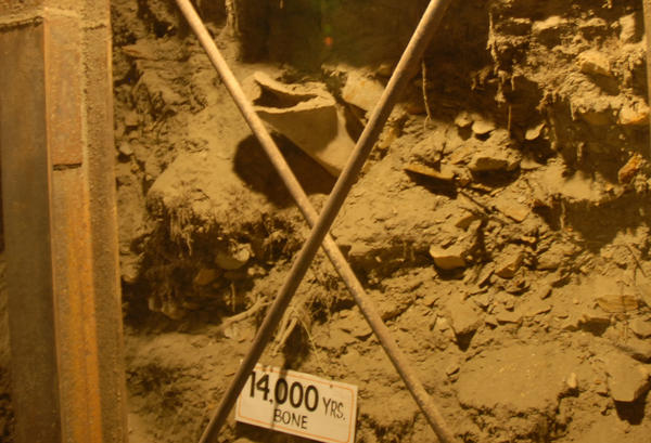 A mammoth bone sticks out of the wall of the tunnel in the permafrost.