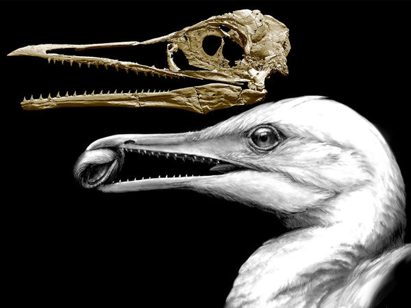 A CT-scan image of the skull of an ancient bird shows how one of the earliest bird beaks worked as a pincer, in the way beaks of modern birds do, but also had teeth left over from dinosaur ancestors. The animal, called <em>I</em><em>chthyornis</em>, lived around 100 million years ago in what is now North America.