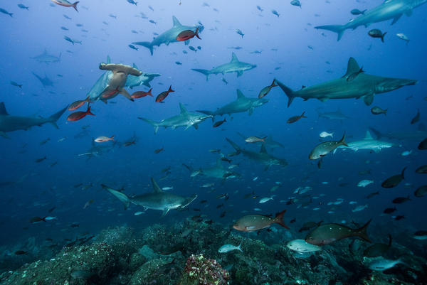 "Scientists have videotaped sharks traveling a 500-mile-long ""shark highway"" in the Pacific Ocean."