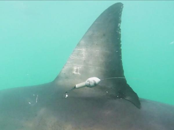 Scientists tagged over 30 great white sharks last fall — more than they had ever done in a single season.