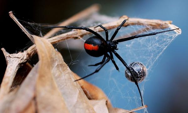 A black widow spider at the Australian Reptile Park in Sydney, Australia. (Ian Waldie/Getty Images)