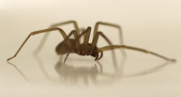 """Brown recluses, like the one pictured here, """"are definitely a serious medical spider, but their bites are fairly rare,"""" North Carolina State University entomologist Matt Bertone says. (Carolyn Kaster/AP)"""