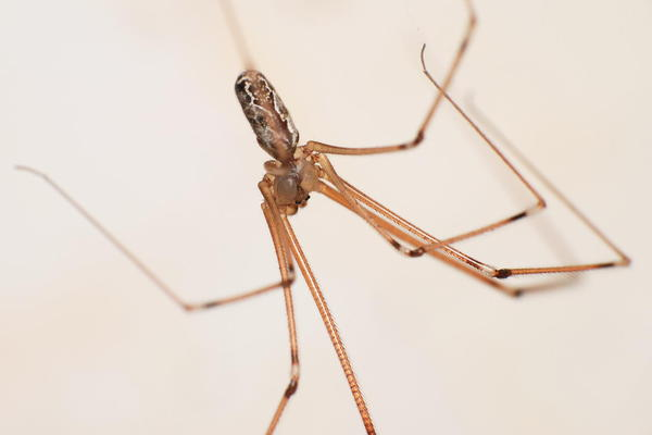 "Cellar spiders, often called daddy longlegs, are ""not aggressive at all,"" North Carolina State University entomologist Matt Bertone says. Their fangs can't pierce human skin, and the spiders usually avoid humans. (Eran Finkle/Flickr)"