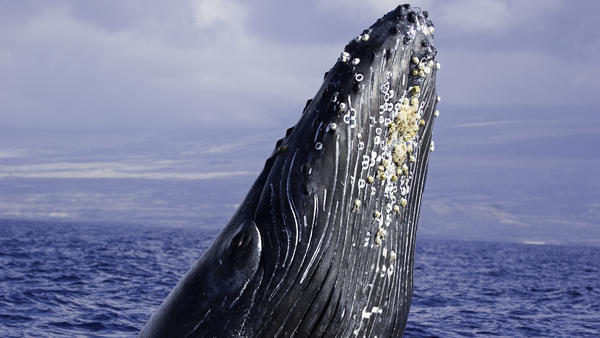 Breaching humpback whale in Hawaii, where the musician and entrepreneur Paul Gilman spent time attempting to communicate with the animals via music.