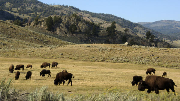 A herd of bison grazes in the Lamar Valley of Yellowstone National Park on Aug. 3, 2016. The park's superintendent has bumped heads with the Trump administration over how many bison the park can sustain.