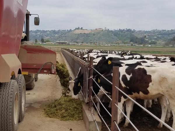 Cows at Frank Konyn Dairy eat a food mixture that contains spent grain, a waste product from the beer brewing process.