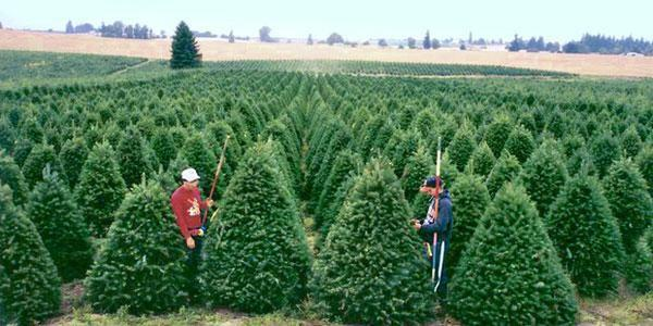 <p>Oregon tree farmers have faced down a trade war before.</p>