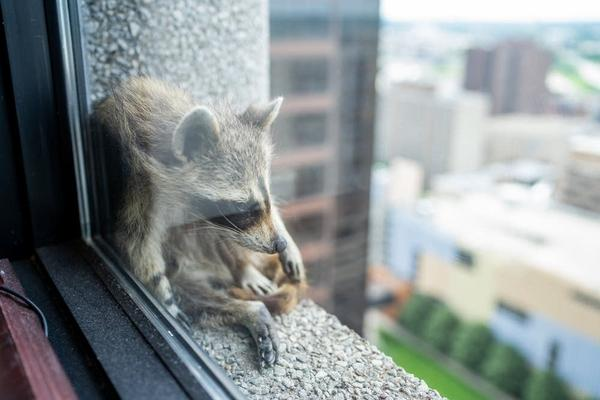 A raccoon surveys St. Paul from the Paige Donnelly Law Firm on the 23rd floor of the UBS tower on Tuesday. (Evan West/Minnesota Public Radio News)