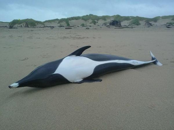<p>A right whale dolphin turned up last Friday on Manzanita Beach. Researchers at Portland State University are conducting tests to determine how the animal died.</p>